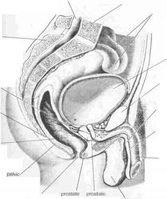 Penis And Rectal Anatomy
