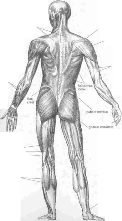 Abductors Triceps Deltoid Gluteus