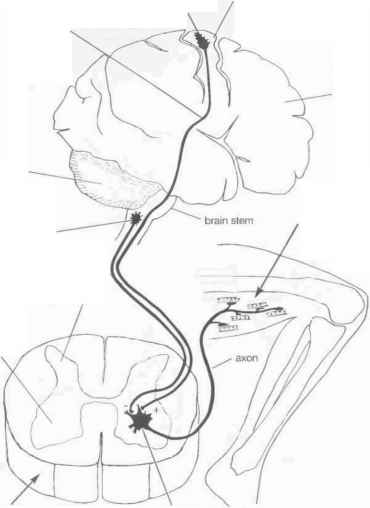 Upper Motor Neuron