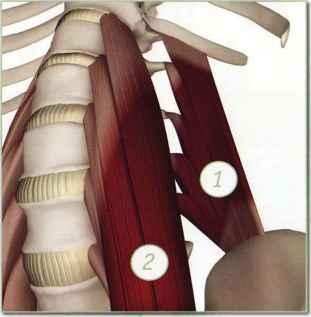 back muscles  yoga key muscles  dahn yoga health center