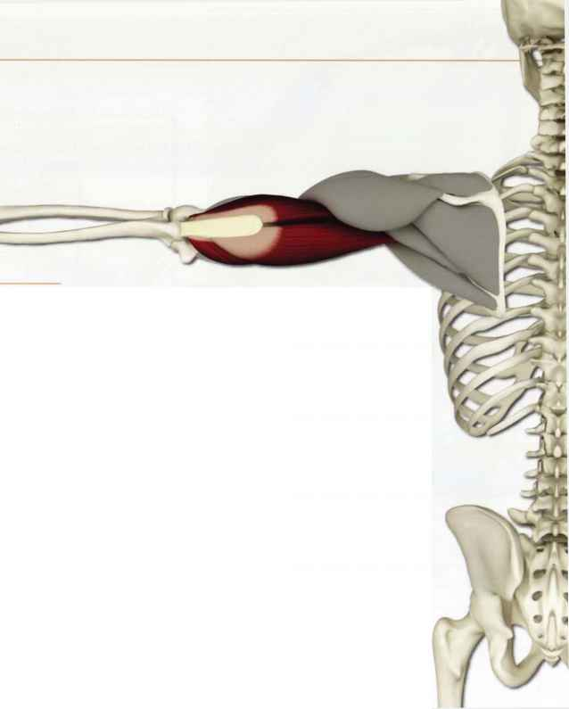 Distal Triceps Tendon