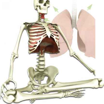 Psoas Muscle And The Diaphragm Muscle