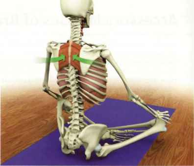 accessory muscles of breath  yoga key muscles