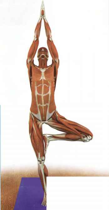 contracted - yoga key muscles - dahn yoga health center, Muscles