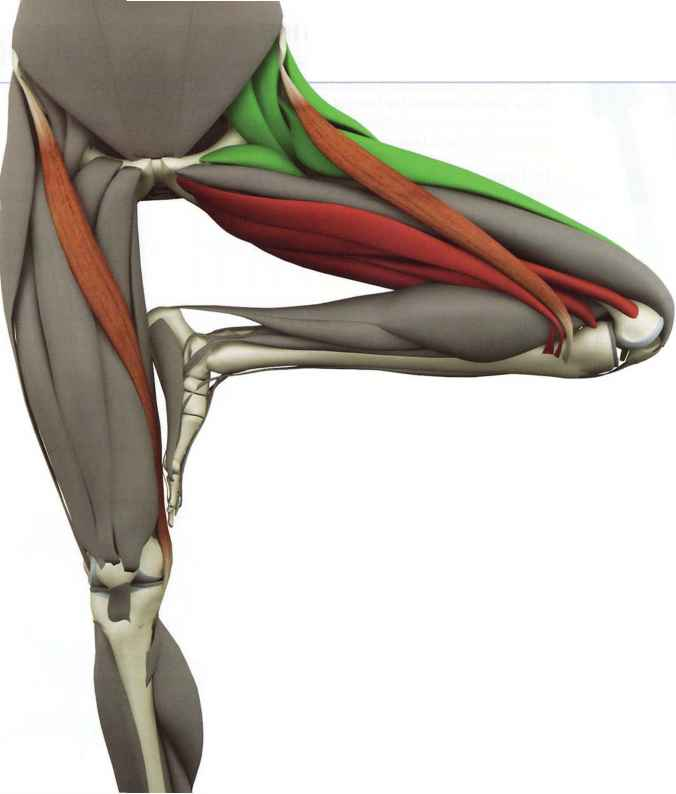 Femoral Nerve Distribution